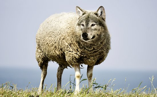 wolf in sheeps clothing 2577813 340